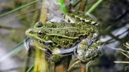 Frosch im Krka Nationalpark in Kroatien