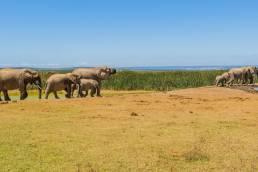 Elefanten im Addo Elephant Nationalpark Südafrika