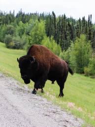 Ein Bison überquert den Highway im Yukon, Kanada