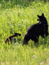 Eine Schwarzbärenmutter mit ihrem Kleinen am Straßenrand des Yukon, Kanada