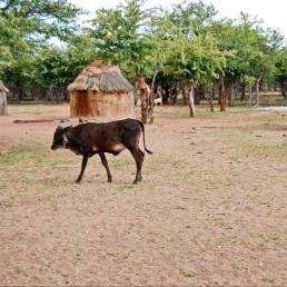 Das Vieh und ein Kind der Himba vor den selbstgebauten Hütten in Namibia