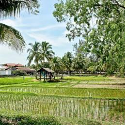 Grüne Reisfelder soweit das Auge reicht